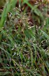 Eragrostis patentipilosa