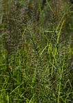 Pogonarthria squarrosa