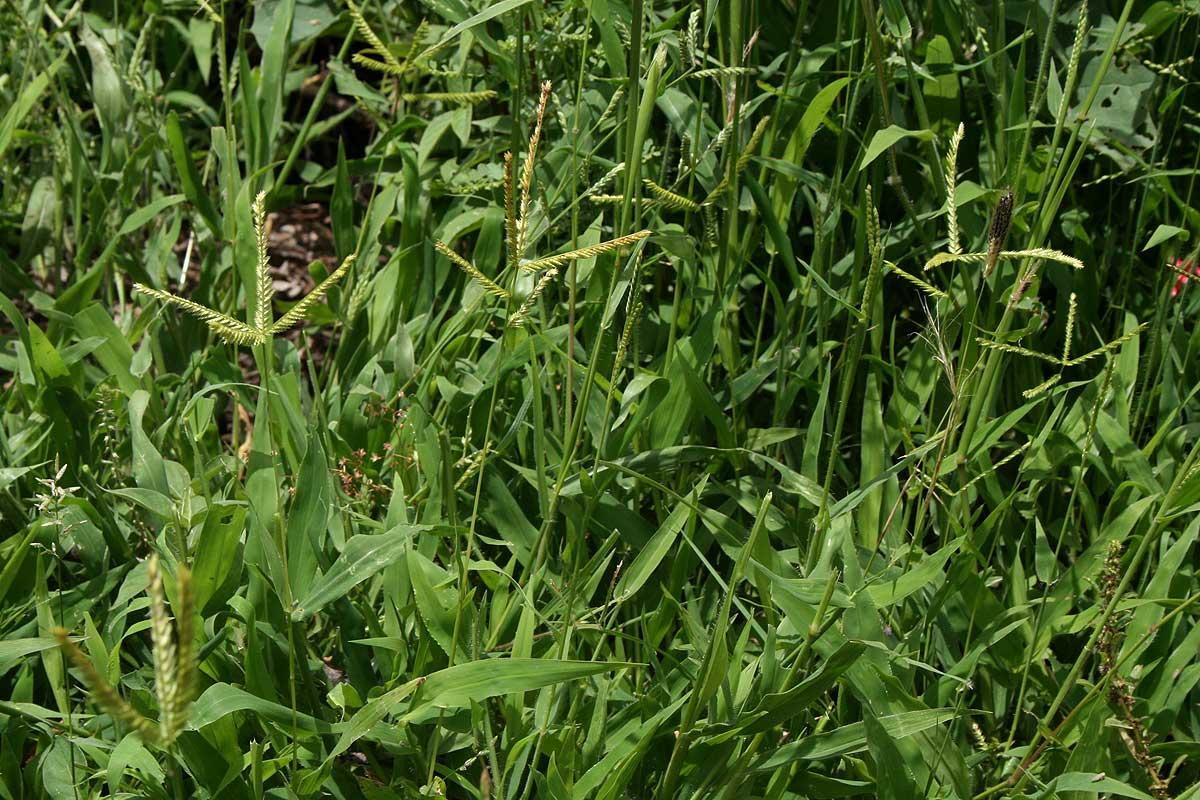 Acrachne racemosa