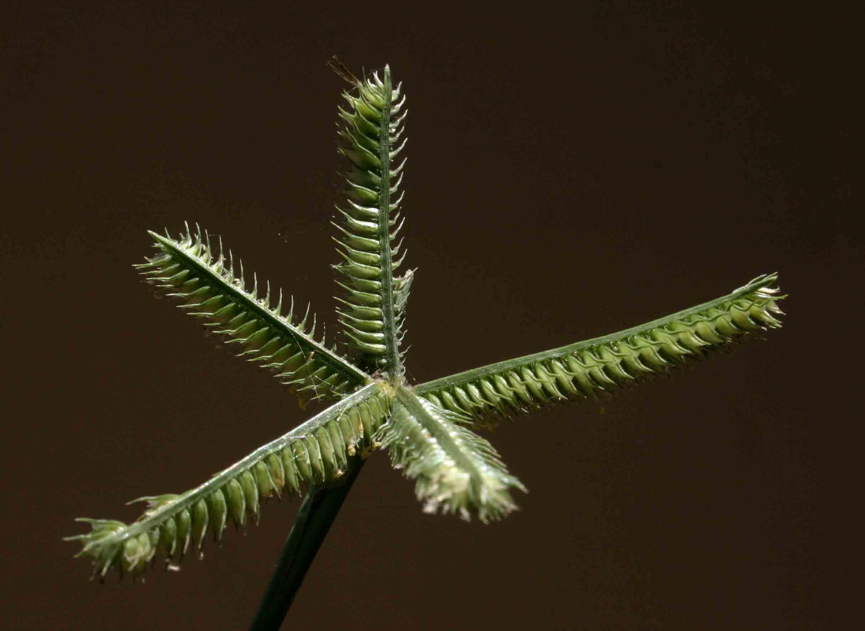 Dactyloctenium aegyptium