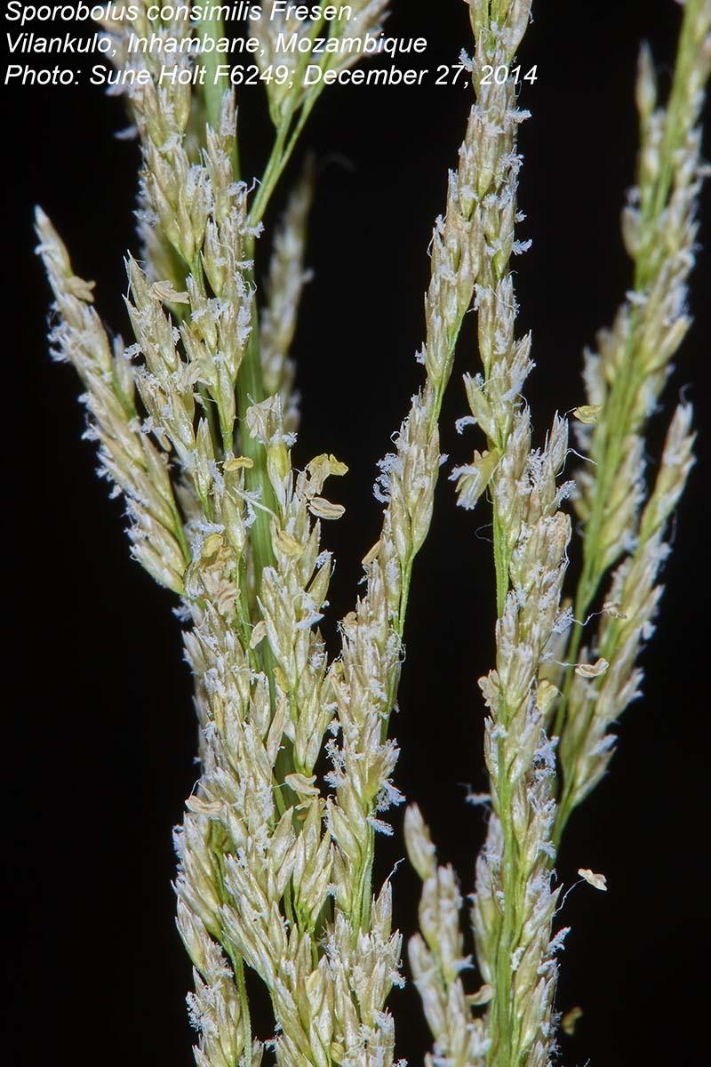 Sporobolus consimilis