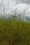 Lintonia nutans