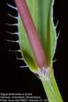 Tragus berteronianus
