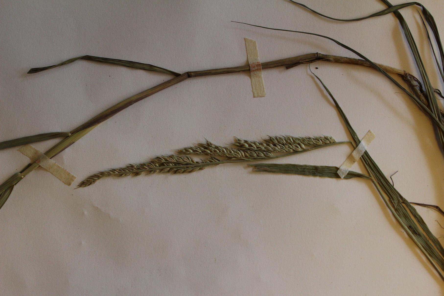Echinochloa ugandensis