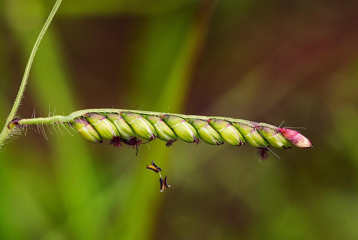 Brachiaria brizantha