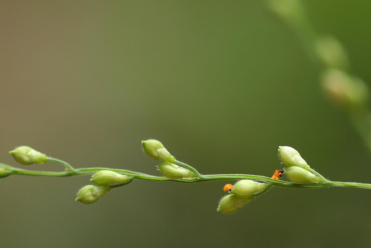 Brachiaria deflexa