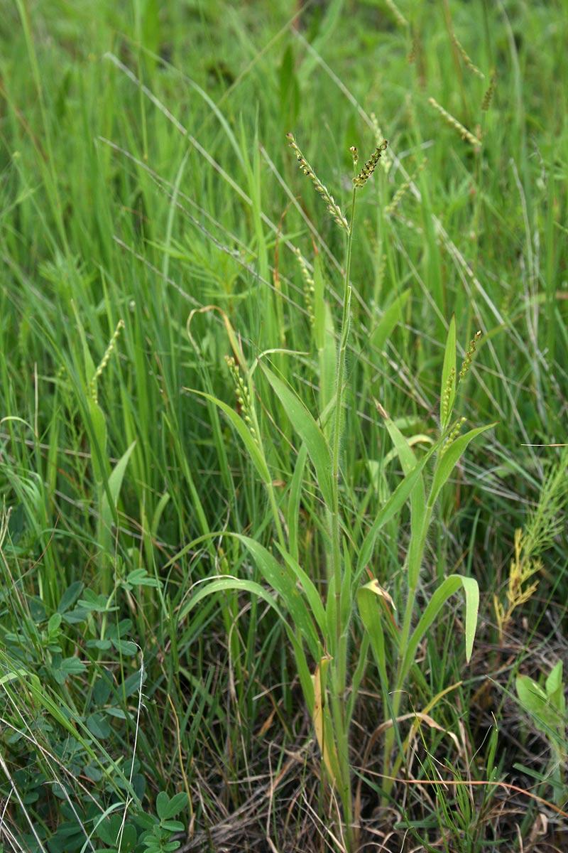 Brachiaria xantholeuca