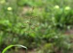 Setaria sagittifolia