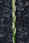 Stenotaphrum dimidiatum
