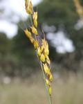 Melinis kallimorpha