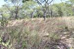 Melinis longiseta subsp. longiseta