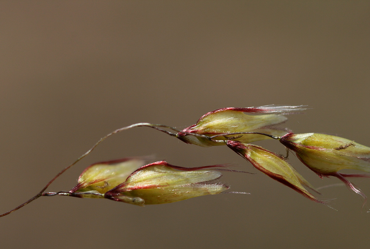Melinis repens subsp. repens
