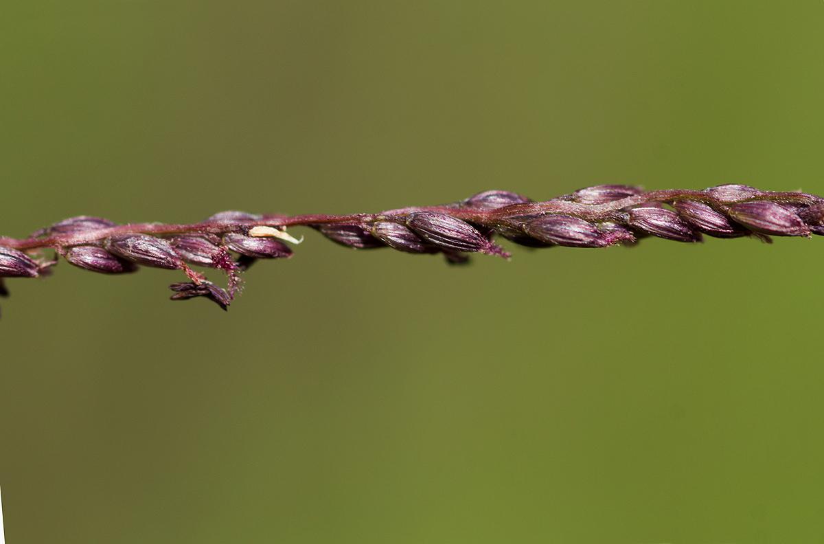 Digitaria gazensis
