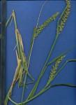 Cenchrus biflorus
