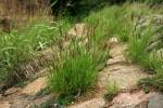Cenchrus ciliaris