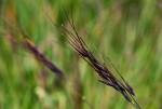 Loudetia simplex