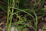 Sorghum versicolor