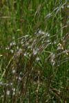 Andropogon eucomus subsp. eucomus
