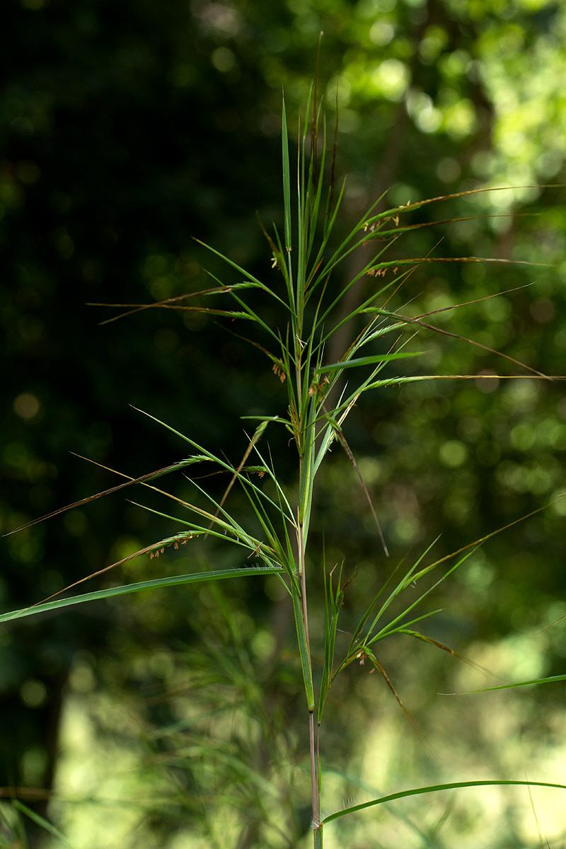 Heteropogon melanocarpus