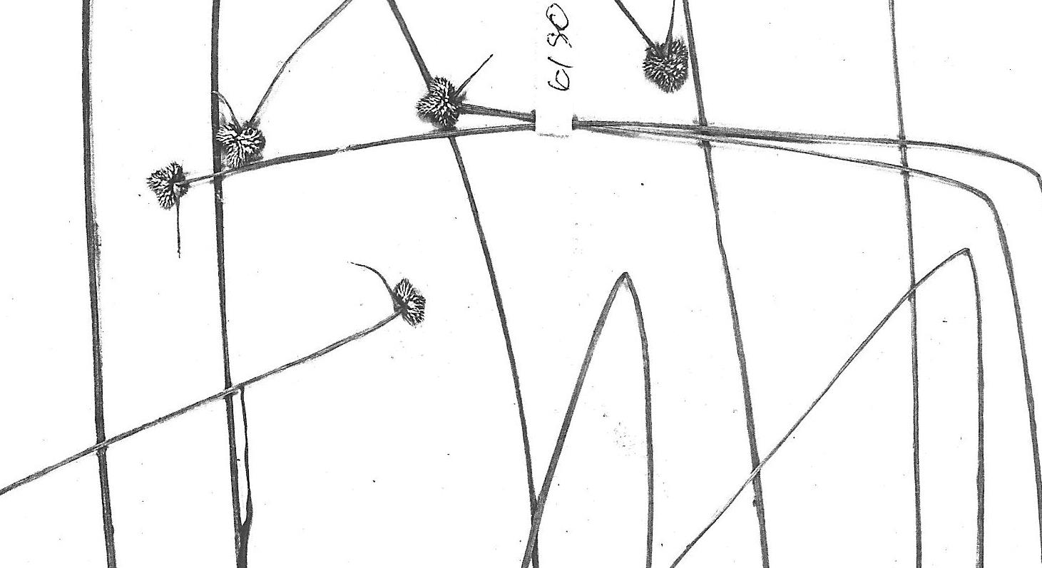 Lipocarpha albiceps