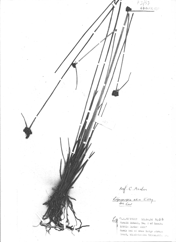 Lipocarpha atra