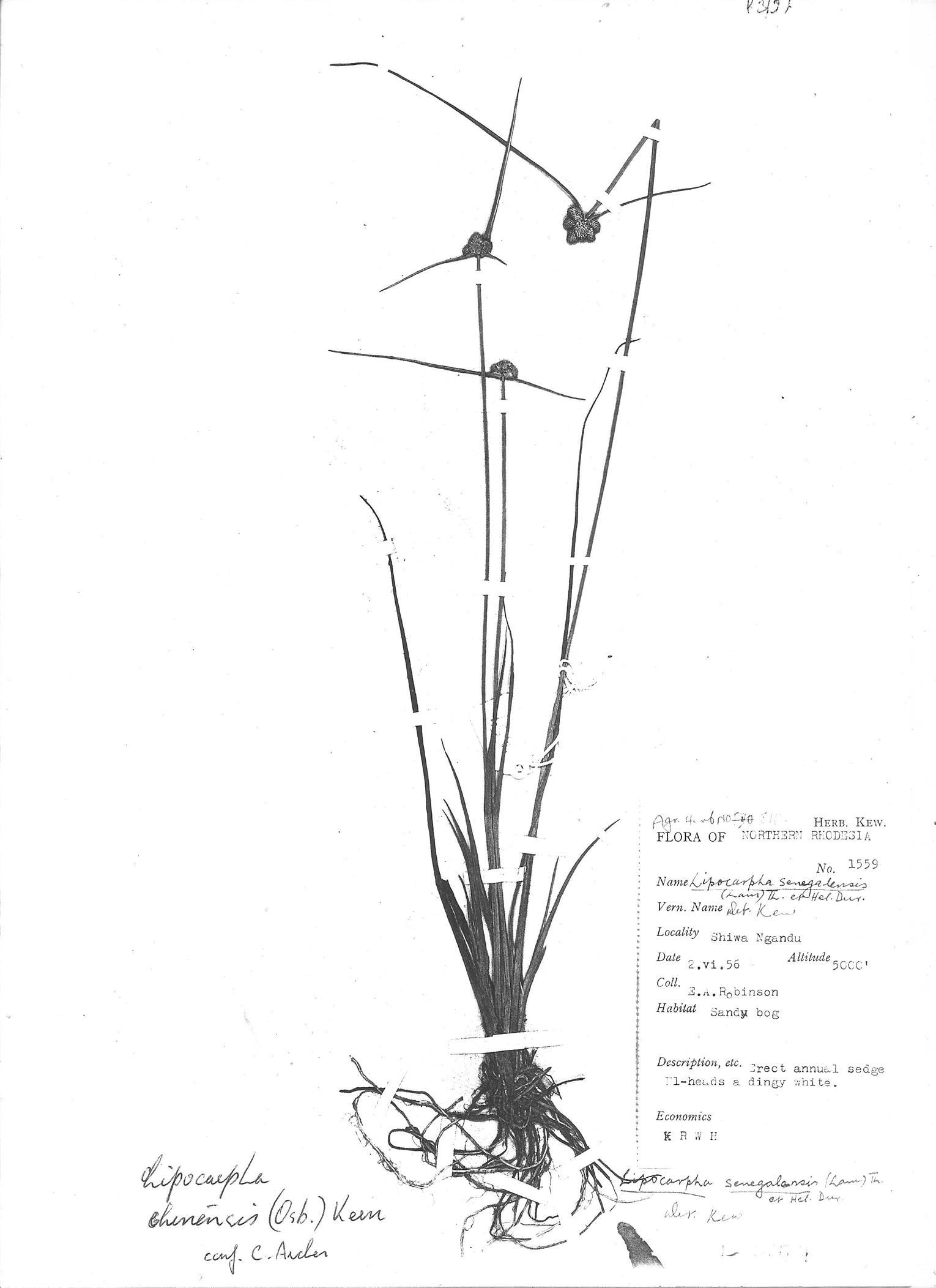 Lipocarpha chinensis