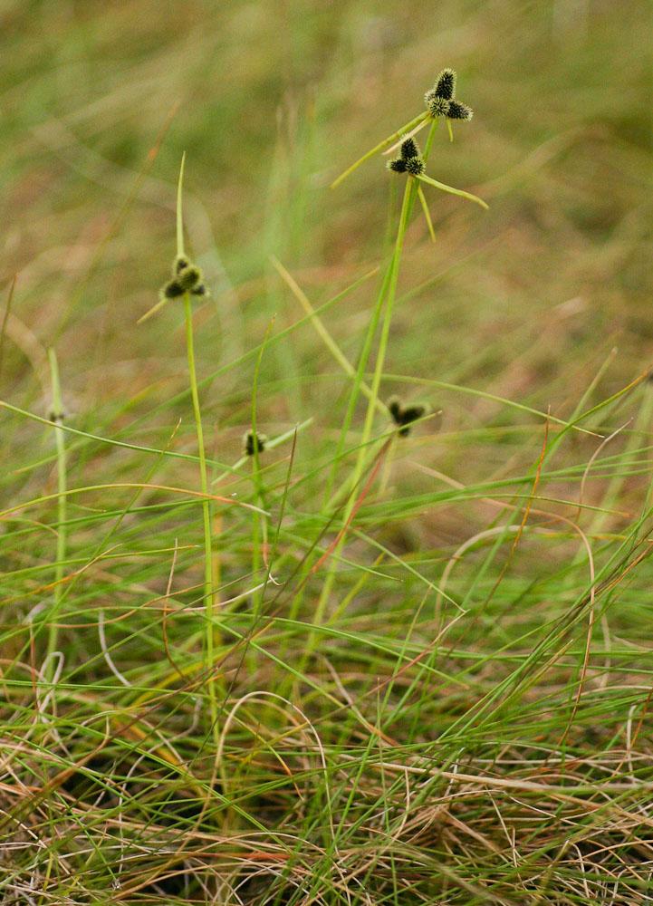 Lipocarpha nana