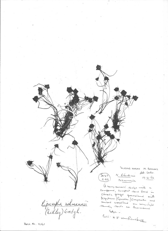 Lipocarpha rehmannii