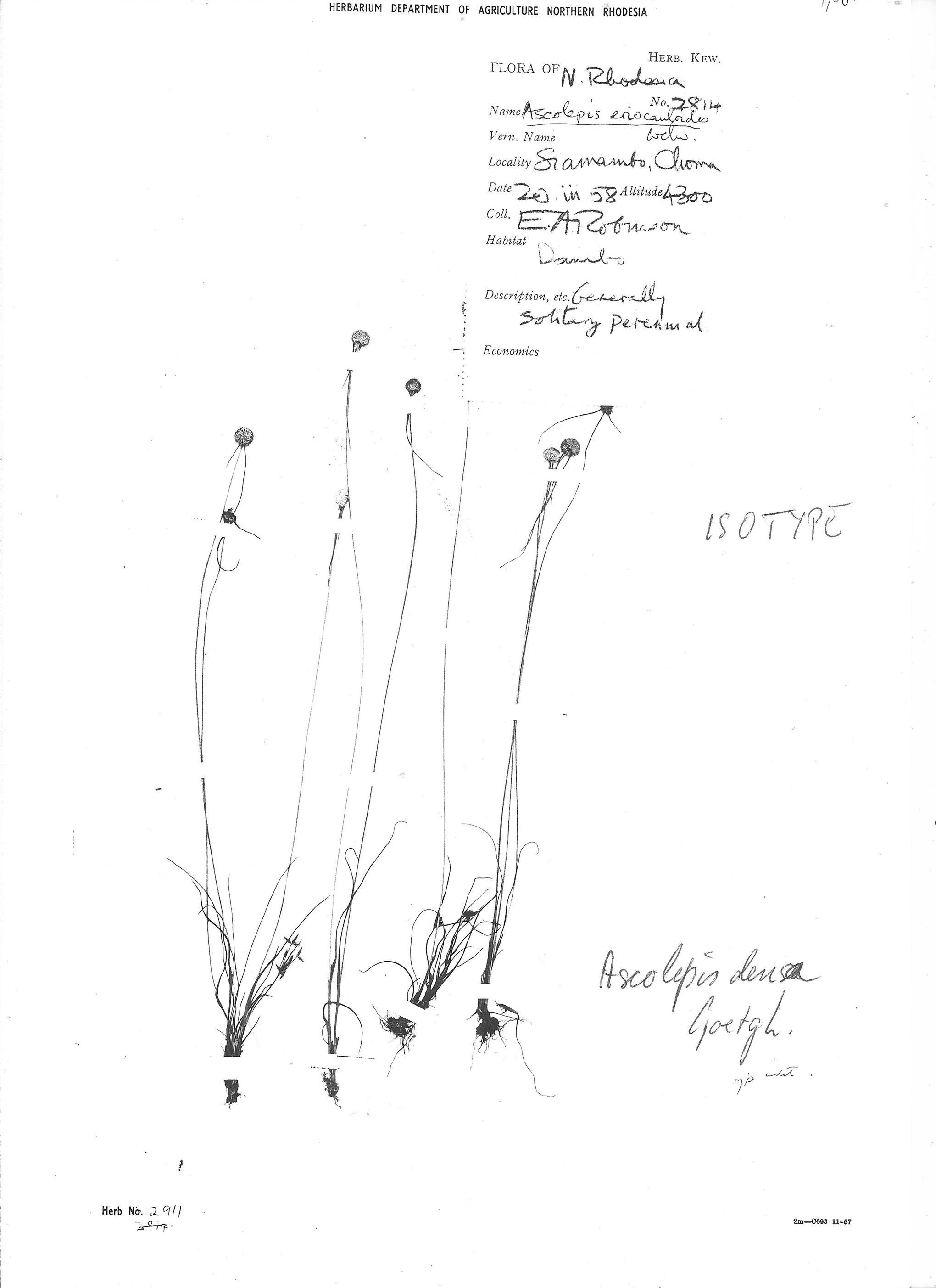 Ascolepis densa
