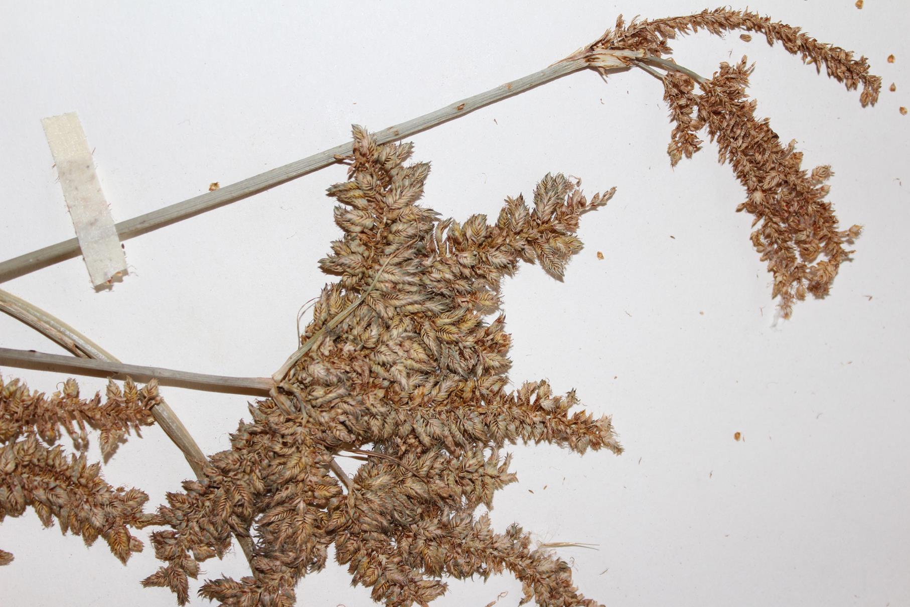 Cyperus alopecuroides