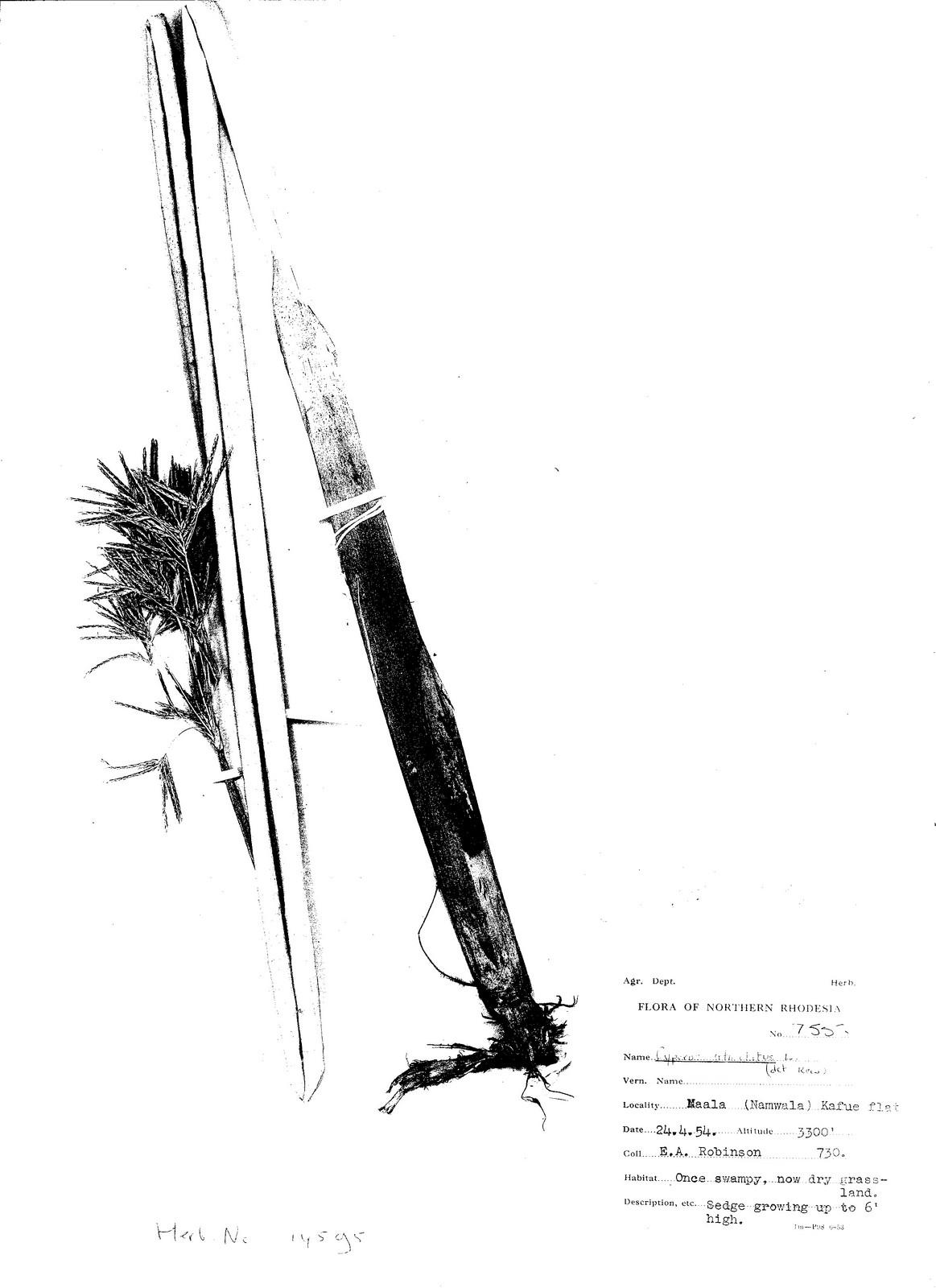 Cyperus articulatus