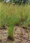Cyperus denudatus var. denudatus
