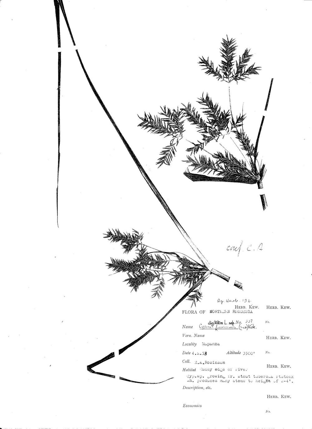 Cyperus digitatus subsp. auricomus
