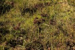 Cyperus distans