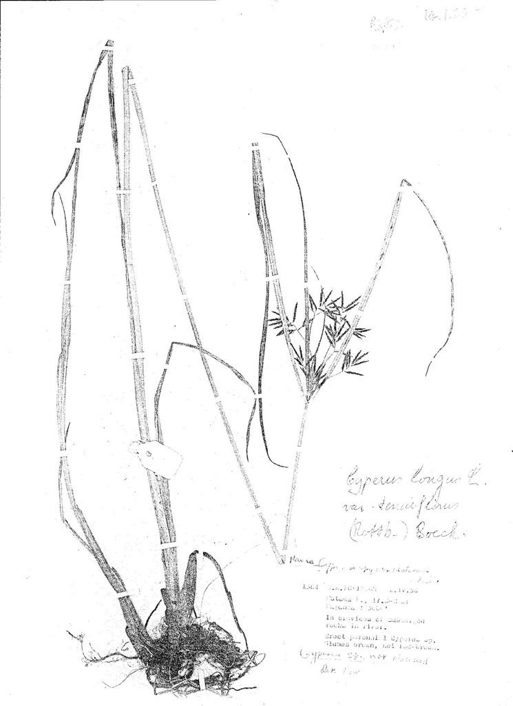 Cyperus longus var. tenuiflorus