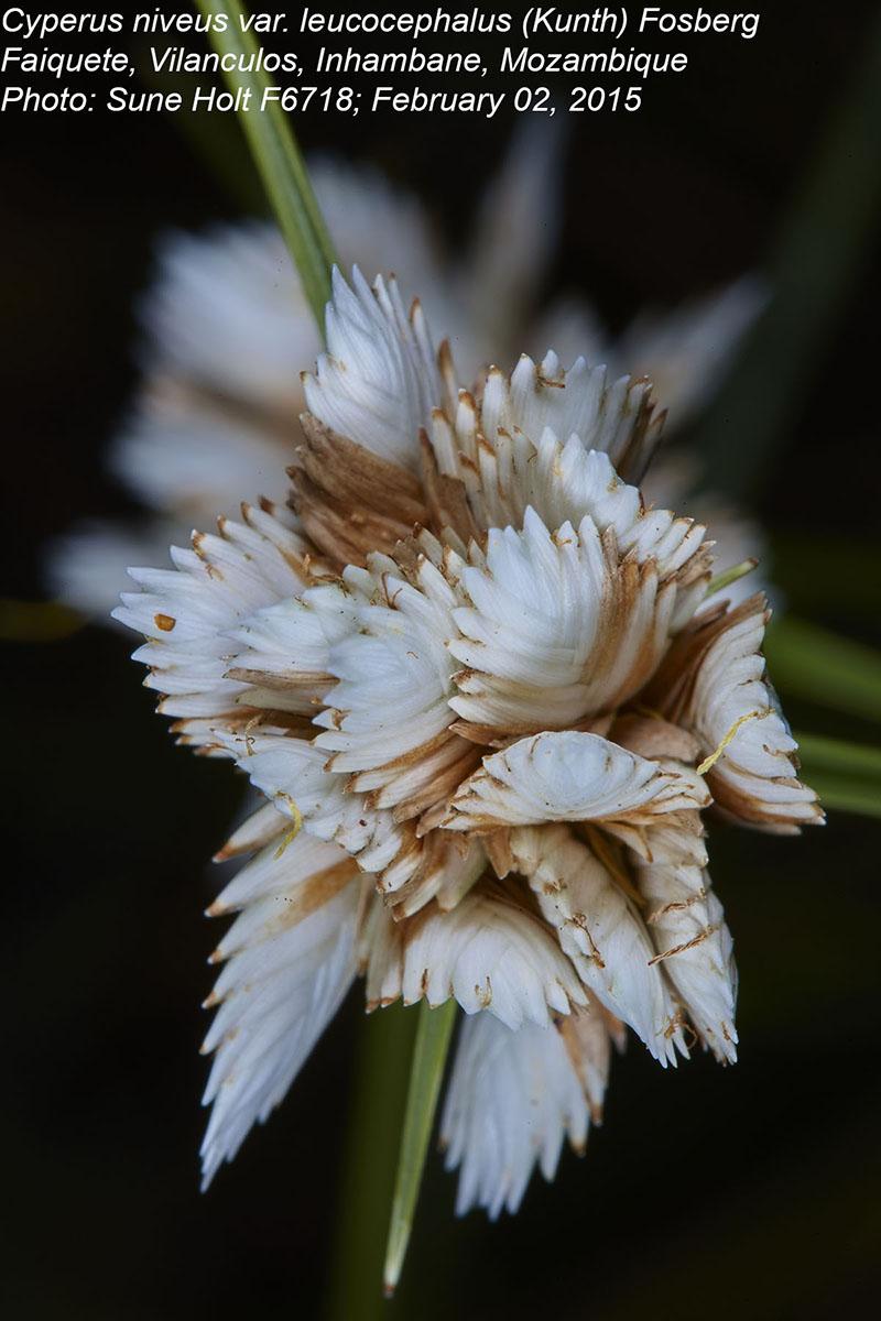 Cyperus obtusiflorus var. obtusiflorus