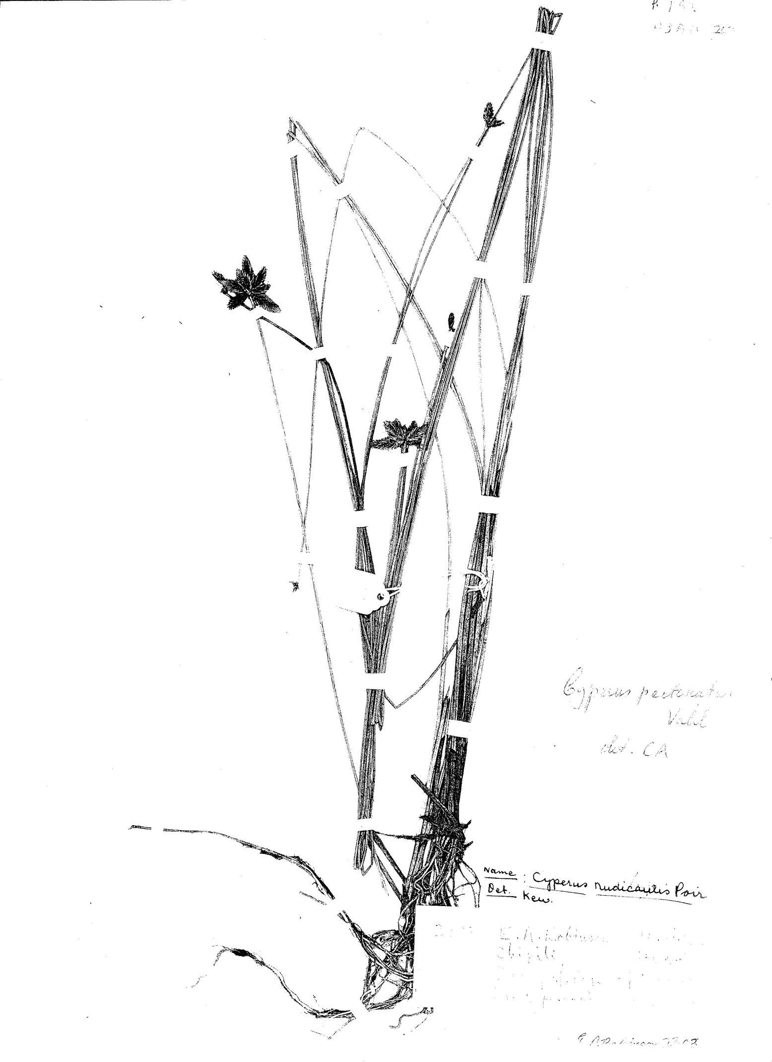 Cyperus pectinatus