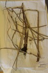 Cyperus procerus