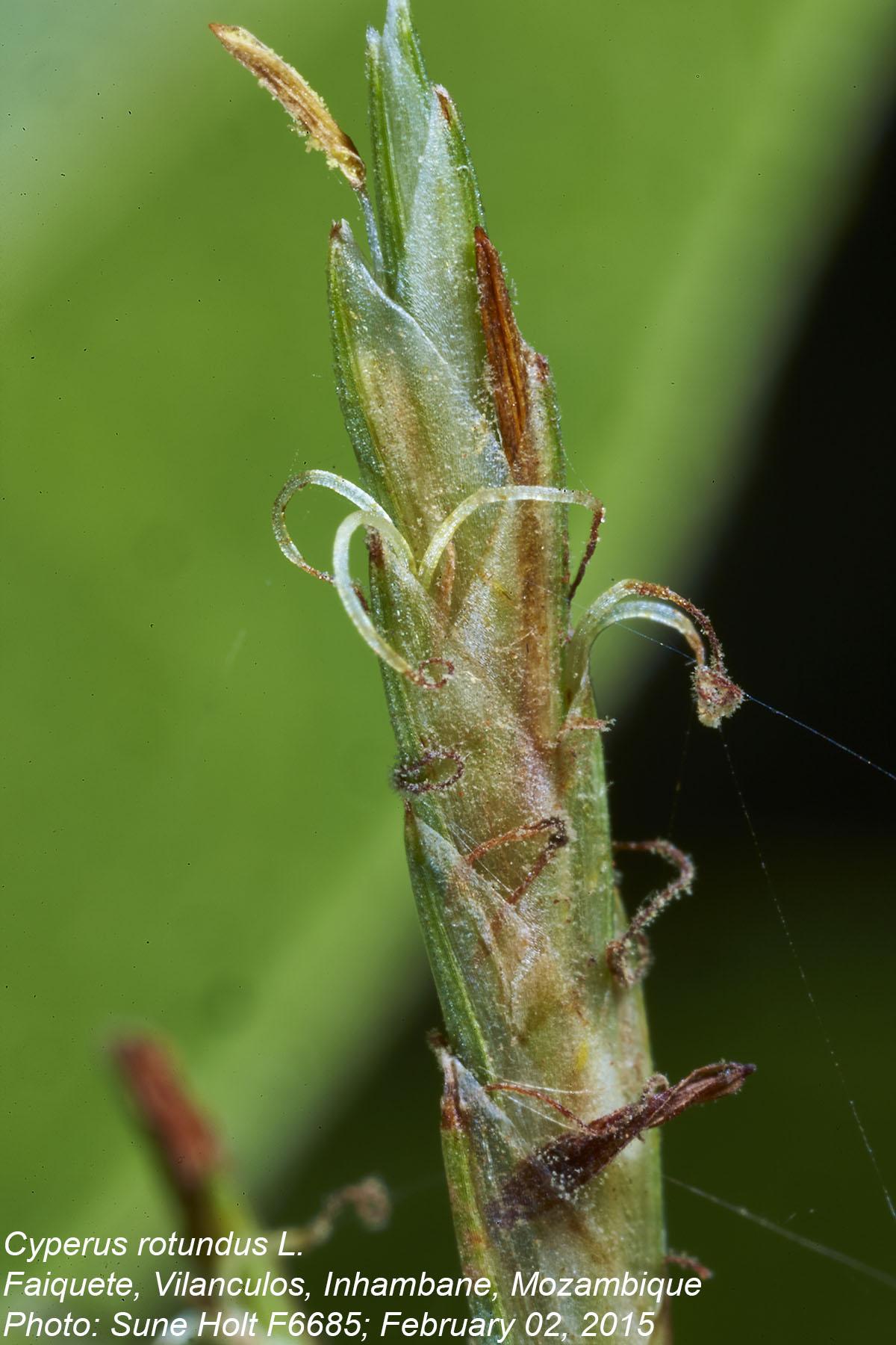 Cyperus rotundus