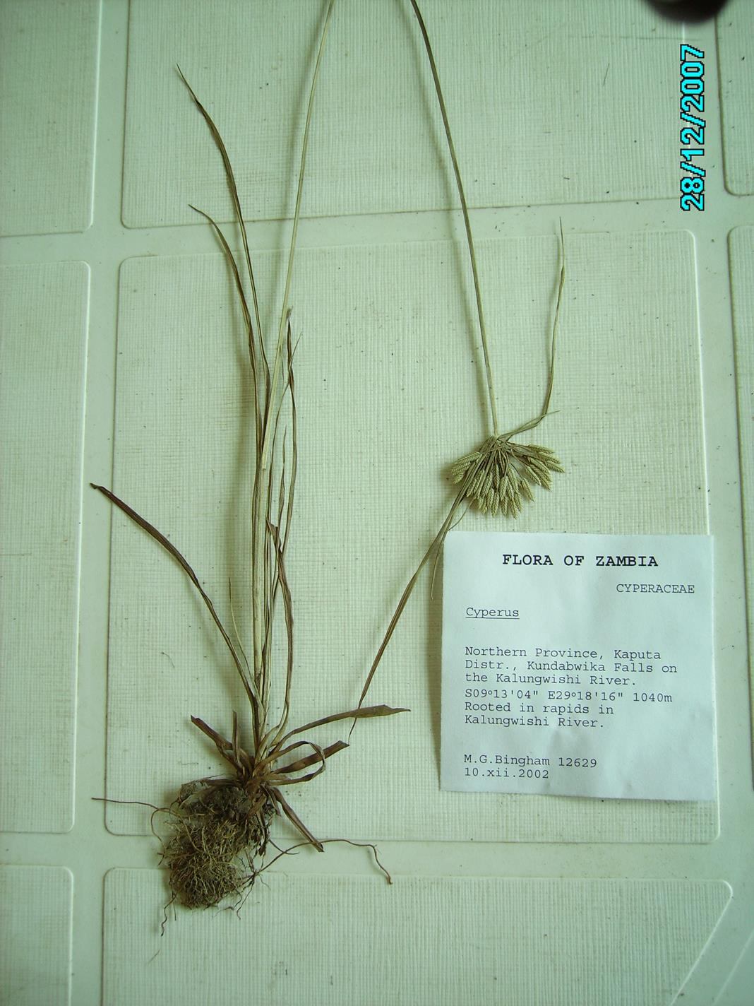 Pycreus lanceolatus