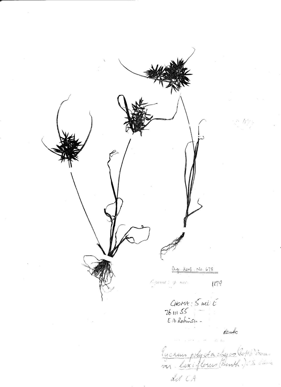 Pycreus polystachyos var. laxiflorus