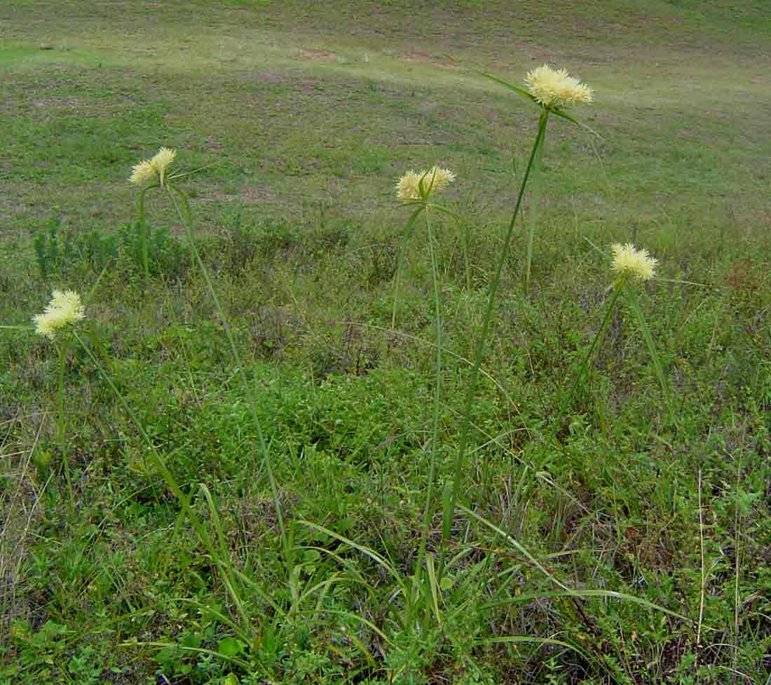 Cyperus hemisphaericus