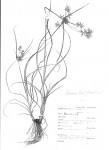 Cyperus turrillii