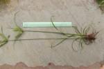 Cyperus cyperoides