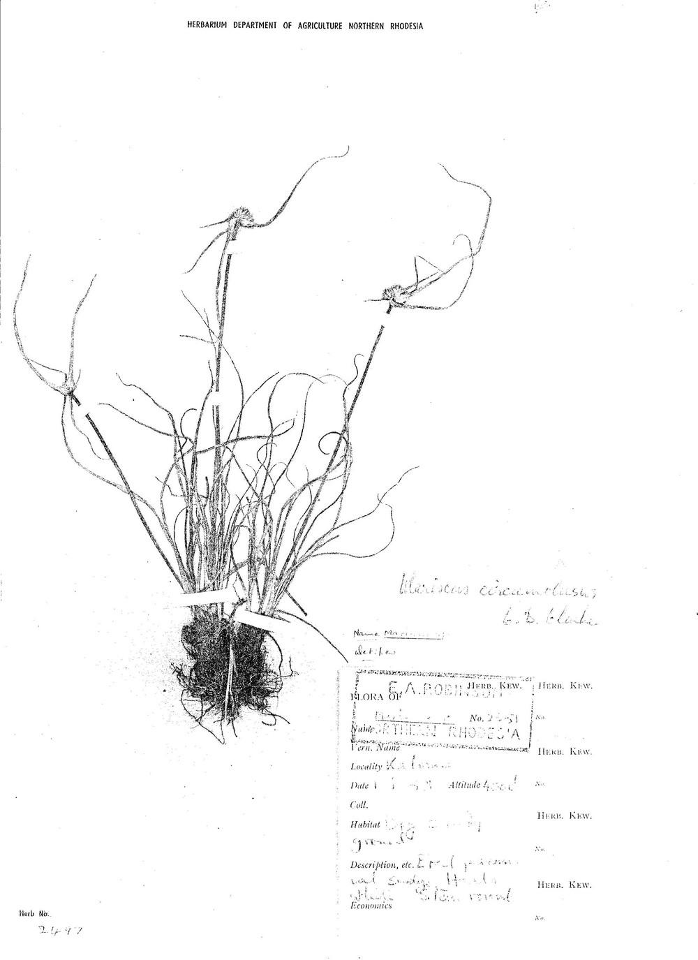 Cyperus mollipes