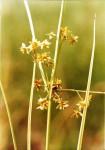 Courtoisina cyperoides