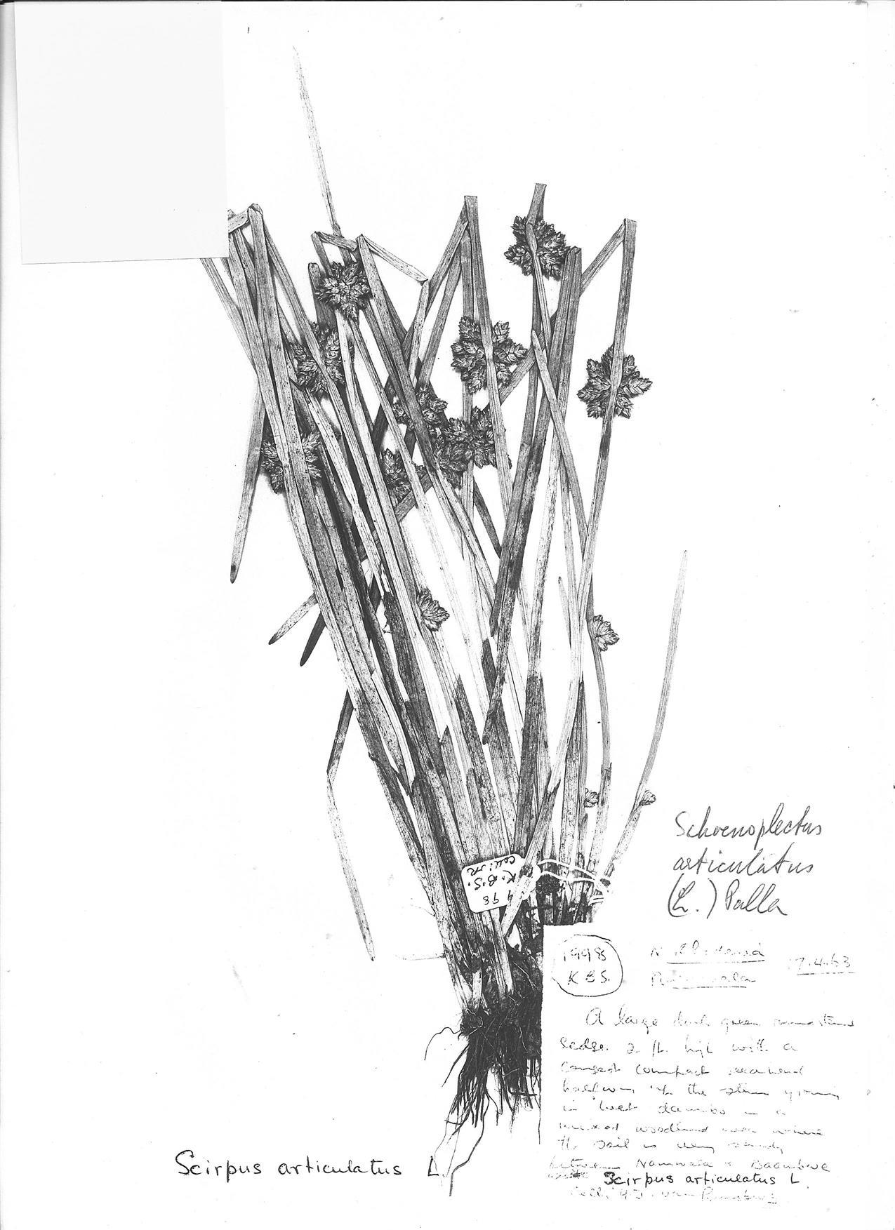 Schoenoplectus articulatus