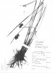 Schoenoplectus muricinux