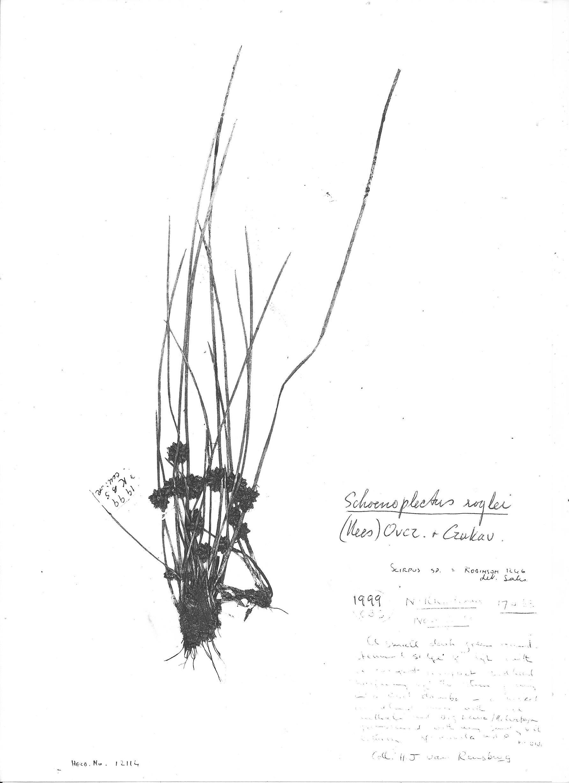 Schoenoplectus roylei
