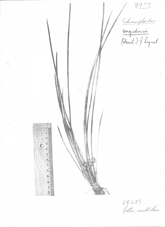 Schoenoplectus senegalensis